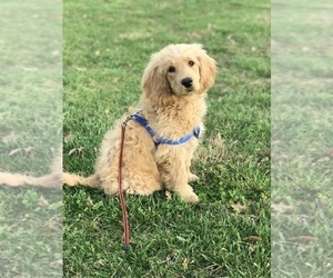 Goldendoodle Puppy for sale in BOWLING GREEN, KY, USA
