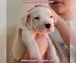 Small #43 Dogo Argentino