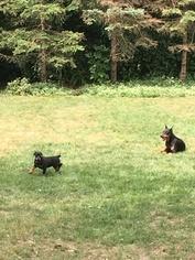Doberman Pinscher Puppy For Sale in DES PLAINES, IL, USA