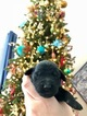 Labradoodle Puppy For Sale in FULSHEAR, TX