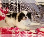 Japanese Chin Puppy Male