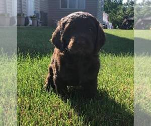 Bernedoodle-Goldendoodle Mix Puppy for sale in LODA, IL, USA