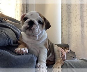 Bulldog Puppy for Sale in PARKER, Colorado USA
