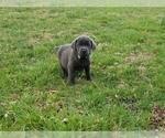 Puppy 14 Labrador Retriever