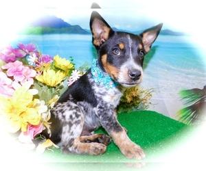 Australian Cattle Dog-Jack-Rat Terrier Mix Puppy for sale in HAMMOND, IN, USA