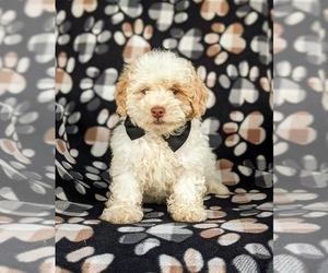 Shih-Poo Puppy for sale in LINCOLN UNIV, PA, USA
