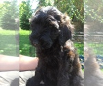 Small #2 Poodle (Miniature)-Soft Coated Wheaten Terrier Mix
