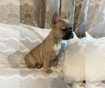 Small Photo #8 French Bulldog Puppy For Sale in JACKSONVILLE, FL, USA