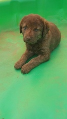 Chesapeake Bay Retriever Puppy For Sale in BAILEY, CO
