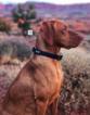 Champion Bloodlines Vizsla Pup