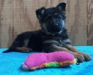 German Shepherd Dog Puppy For Sale in TOPEKA, Indiana,