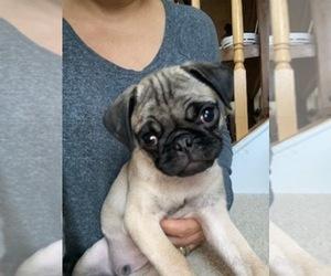Pug Puppy for Sale in NORTH AURORA, Illinois USA