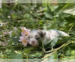 Small #6 Bullhuahua-Chihuahua Mix
