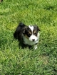 Pembroke Welsh Corgi Puppy For Sale in GILL, CO, USA