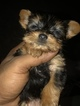 Yorkshire Terrier Puppy For Sale in KISSIMMEE, FL, USA