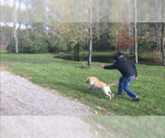 Small Photo #2 Labrador Retriever Puppy For Sale in FRUITPORT, MI, USA