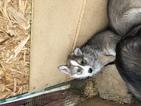 Wolf Hybrid Puppy For Sale near 47136, Lanesville, IN, USA