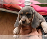 Blue Fawn Beagle Puppies
