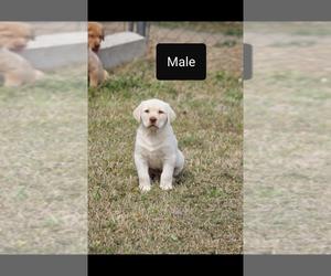 Labrador Retriever Puppy for sale in ADAIR, OK, USA