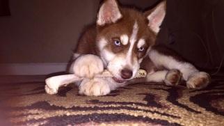 Siberian Husky Puppy For Sale in AUBURN, CA
