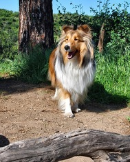 Shetland Sheepdog Dog For Adoption in CLAREMONT, CA, USA