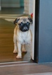 Pug Puppy For Sale in SCOTTSDALE, AZ, USA