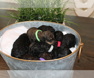 Poodle (Standard) Puppy for Sale in MONROEVILLE, Pennsylvania USA