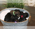 Poodle (Standard) Puppy For Sale in MONROEVILLE, PA, USA