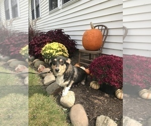 Mother of the Pembroke Welsh Corgi puppies born on 09/14/2020