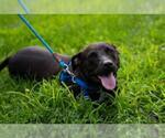 Small #38 American Staffordshire Terrier-Labrador Retriever Mix