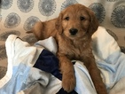 Goldendoodle Puppy For Sale in WOODBURN, IN,