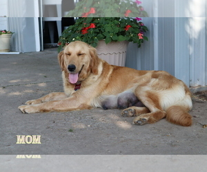 Mother of the Golden Retriever puppies born on 05/11/2021