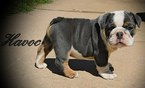 Bulldog Puppy For Sale in DUMAS, TX,