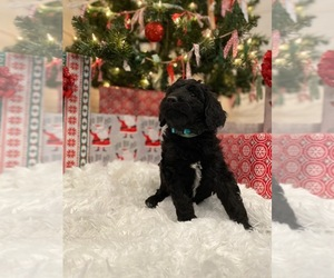 Goldendoodle-Poodle (Standard) Mix Puppy for Sale in SURGOINSVILLE, Tennessee USA
