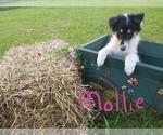 Puppy 6 Collie