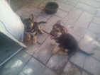 Pure bred German Shepherd puppies