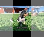 Puppy 2 Bluetick Coonhound