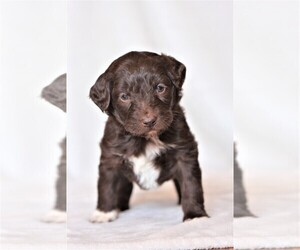 Aussiedoodle Puppy for Sale in EDMOND, Oklahoma USA
