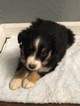 Australian Shepherd Puppy For Sale in MULBERRY GROVE, IL, USA