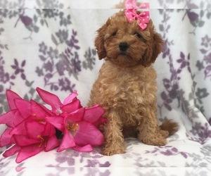 Medium Cavapoo-Poodle (Miniature) Mix