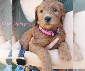 Goldendoodle Puppy for Sale in CONCORD, California USA
