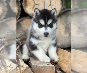 Siberian Husky Puppy for sale in STAPLES, MN, USA