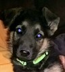 Small Photo #4 German Shepherd Dog Puppy For Sale in SPOKANE, WA, USA