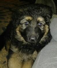 AKC Long Hair German Shepherd Puppies