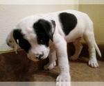 Small #2 America Bandogge Mastiff