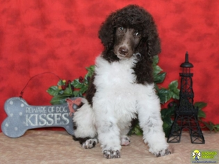Poodle (Standard) Puppy For Sale in THURMOND, NC