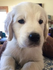 Golden Retriever Puppy For Sale in KIEL, WI, USA