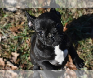 French Bulldog Puppy for Sale in CHRISTIANA, Tennessee USA