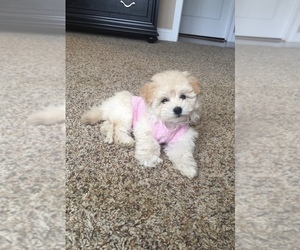 Maltipoo Puppy for sale in MOREHEAD, KY, USA