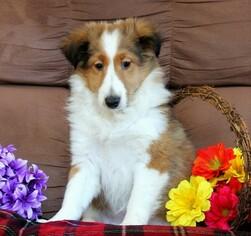 Shetland Sheepdog Puppy for sale in MANHEIM, PA, USA